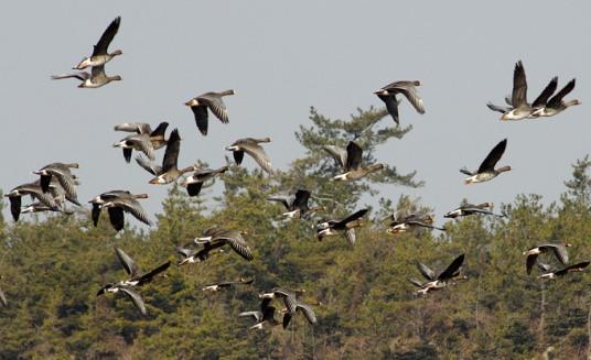 حديقة حيوانات المركز الدولى  - صفحة 2 White-fronted-goose-03_ak
