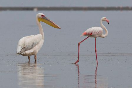 White_Pelican_and_Greater_Flamingo_(Walvis_Bay)