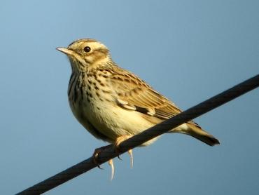طيور القبرة woodlark.jpg?w=640