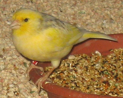 Yellow_finch_1