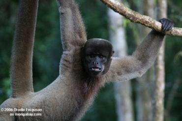 القرد الصوفي