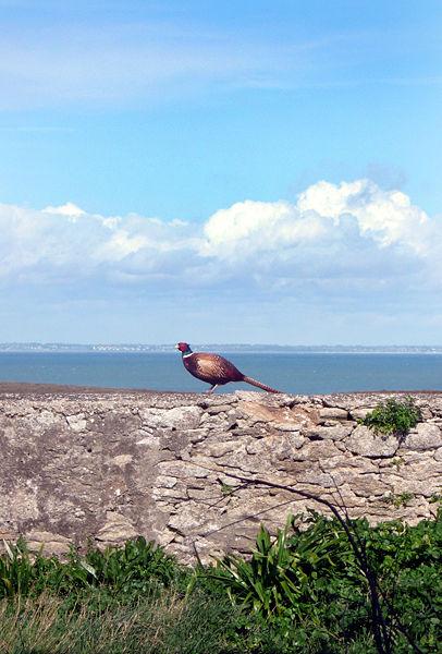 طيور التدرج 406px-faisan_sur_lc3