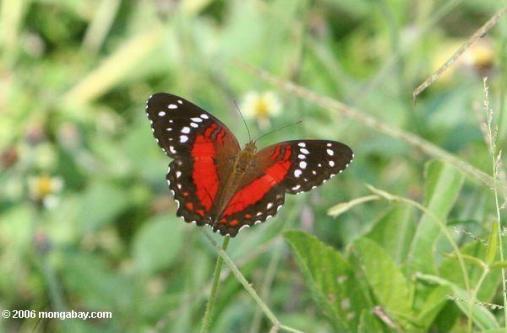 أحمر ، أسود ، والفراشات البيضاء