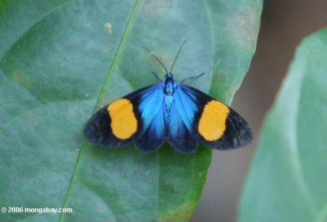 الأسود ، الأزرق ، وأورانج فراشة في كولومبيا