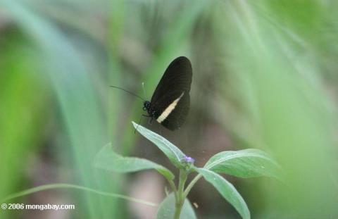 انواع الفراشات