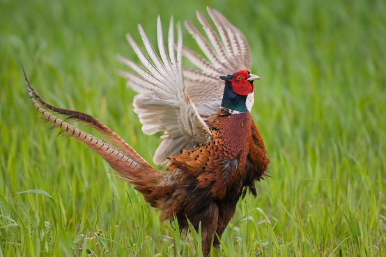طيور التدرج fasan_m_nnlich_-_nor