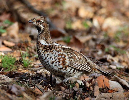 طيور التدرج hazel-grouse_rn-01.j