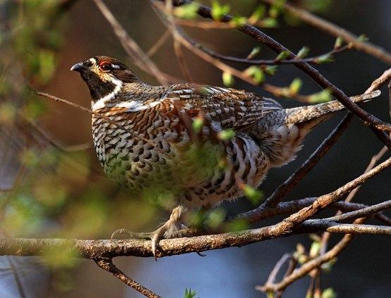 طيور التدرج hazel-grouse_rn-02.j