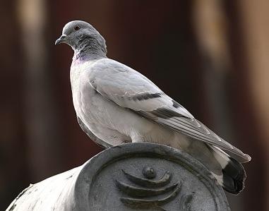 Hill-Pigeon_TE