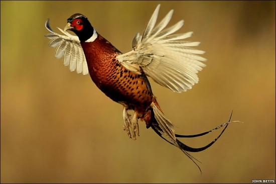 طائر التدرج