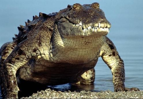معلومات التمساح مرعب 111.jpg?w=497&h=