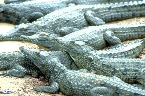 معلومات التمساح مرعب 2222.jpg?w=503&h