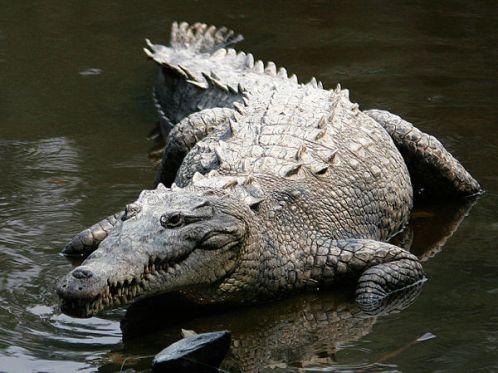 معلومات التمساح مرعب 333.jpg?w=499&h=