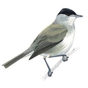 الطيور المغردة بريطانيا