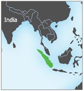 انسان الغاب Sumatra1