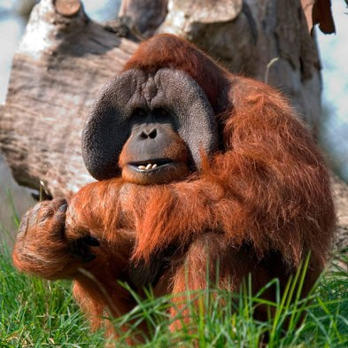 انسان الغاب Sumatran-orangutan