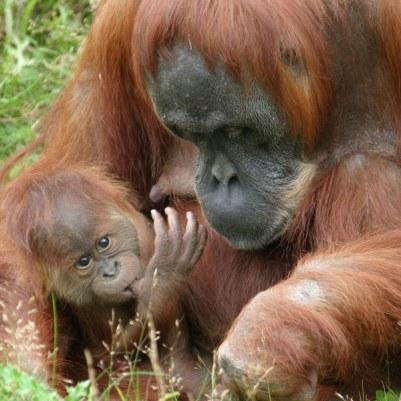 انسان الغاب Sumatran-orangutan2