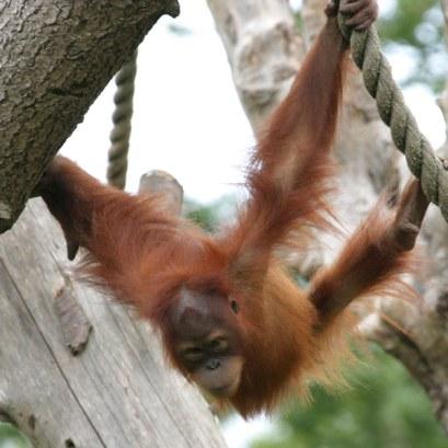 انسان الغاب Sumatran-orangutan3