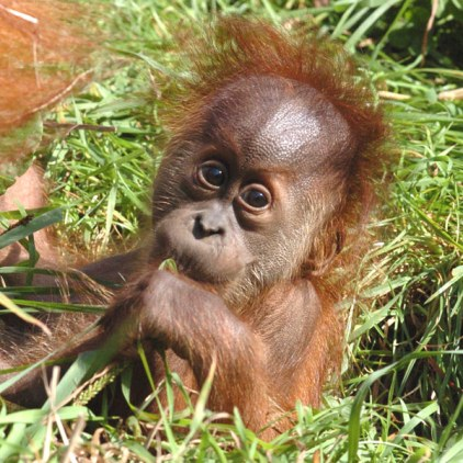 انسان الغاب Sumatran-orangutan5