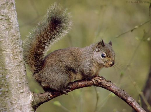 ������� ������.. ��������� ���� ���� ������.. ������� �������.. douglassquirrel.jpg?