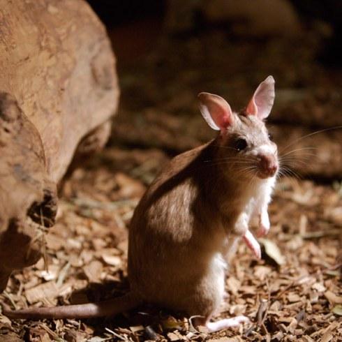 الفئران القافزة معلومات