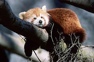 ������� ������.. ��������� ���� ���� ������.. ������� �������.. red_panda_1.jpg?w=50