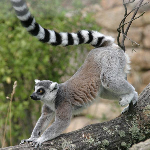تعرف على حيوان الليمور المهدد بالانقراض Ring-tailed-lemur2