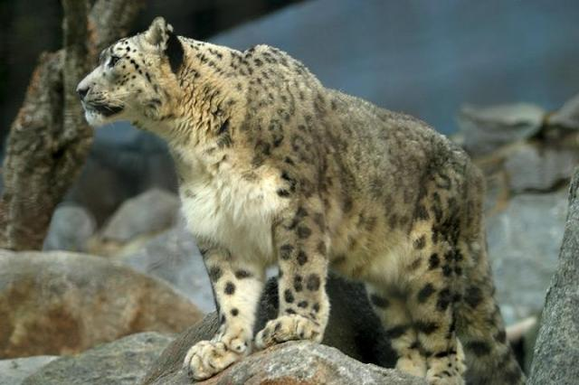 Lightmatter_snowleopard