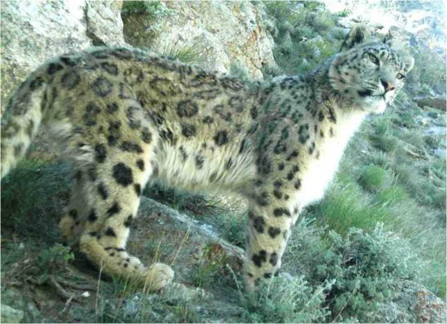 Snow_leopard_in_Afghanistan