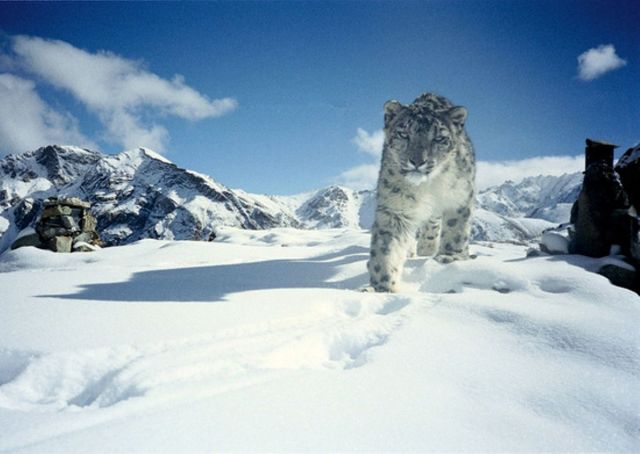 Snow_Leopard_in_Hemis_National_Park