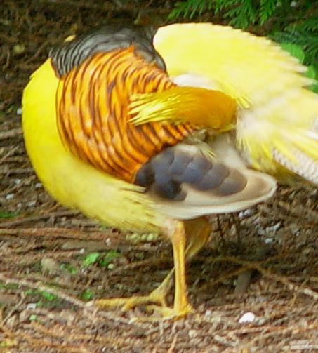 طائر الفزن golden-pheasant-pree