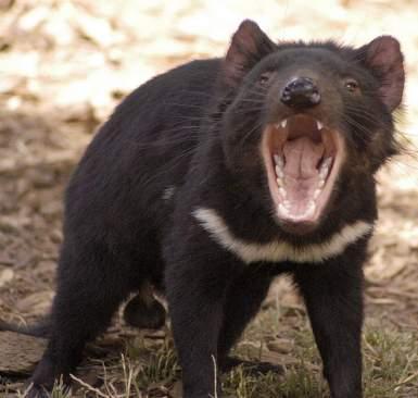 الشره او الولفرين tasmanian_devil.jpg?