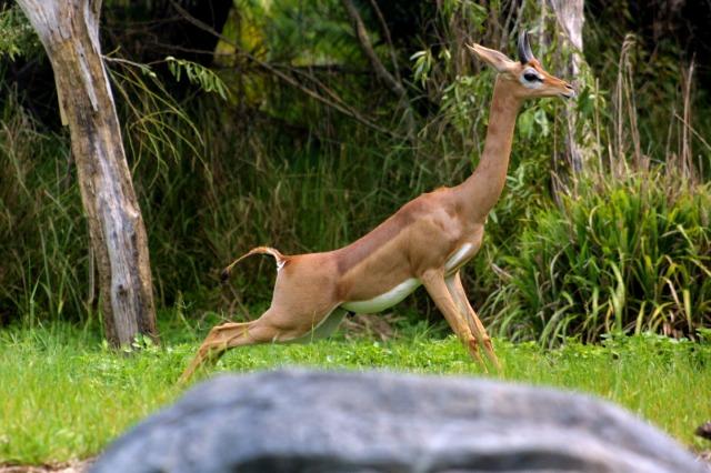 تعرفى على حيوان غزال الزرافة بالصور gerenuk10-11d89ac.jp