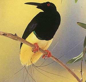طيور الجنـــــــــة 12-wired-bird-of-par