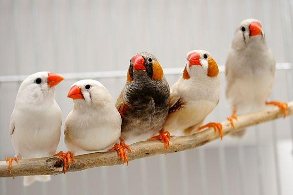 الفنكر زيبرا، طائر الفنكر الجميل من استراليا ، تقرير وصور 3638_211544_12617226