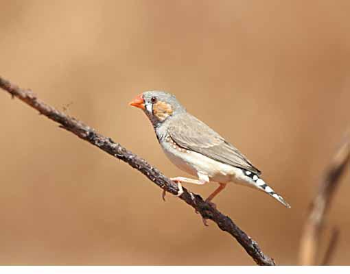 الفنكر زيبرا، طائر الفنكر الجميل من استراليا ، تقرير وصور 4441.jpg?w=640