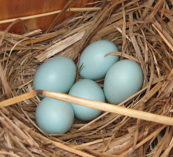 660px-Bluebird_eggs