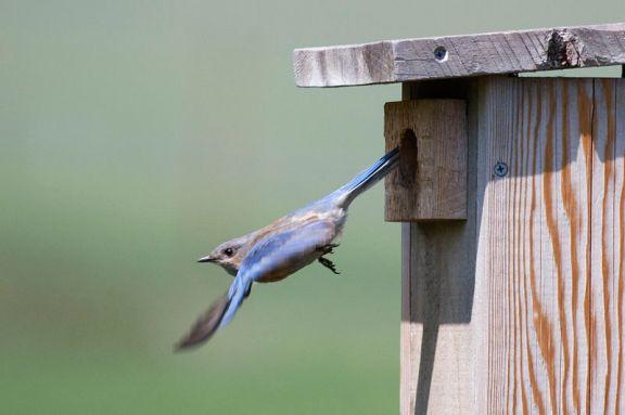 800px-Western_Bluebird_leaving_nest_box