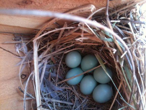 800px-Western_Bluebird_(Sialia_mexicana)_eggs