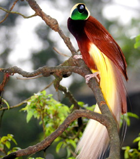 طيور الجنـــــــــة bird-of-paradise1.jp