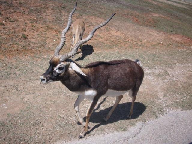 الغزال الاسود blackbuck_antelope_i