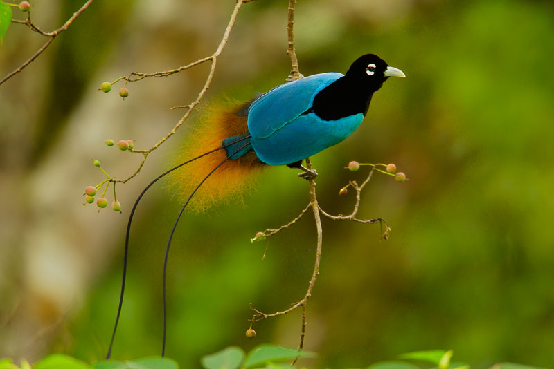 طيور الجنـــــــــة blue-bird-of-paradis