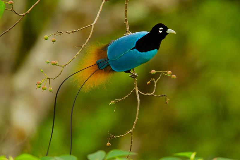 طيور الجنـــــــــة blue-bird-of-paradis