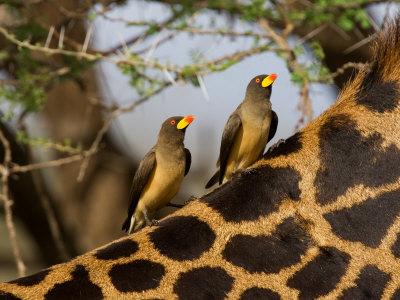 طائر الاوكسبيكر charles-sleicher-yel