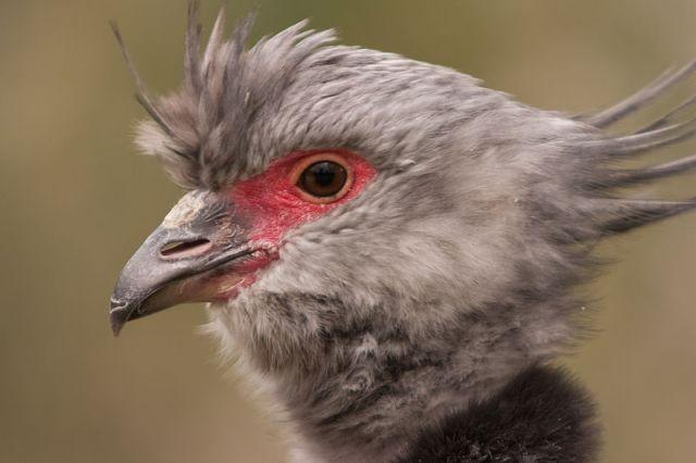 طائر الصارخ المتوج الجنوبي