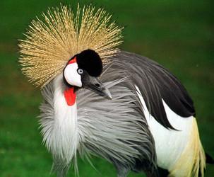 حيوانات طيور الرافعة المتوج طيور الرافعة المتوج حيوانات طيور الرافعة المتوج