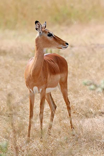 انثى امبالا-Female_impala