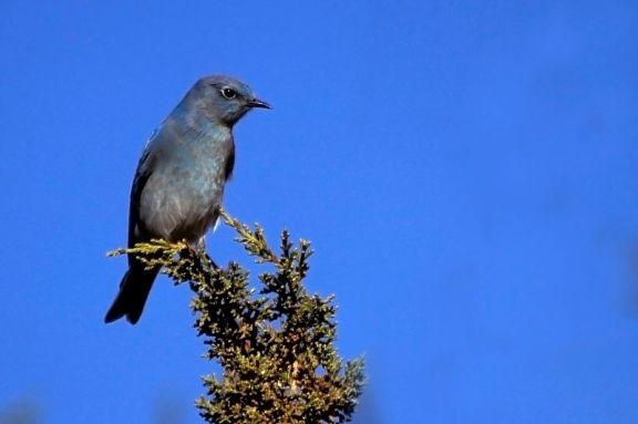 جبلي-Mountain_Bluebird,_Santa_Fe