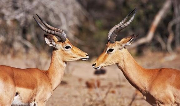 ذكر امبالا -Male-Impalas