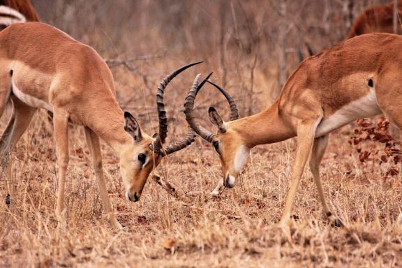 Impalas-Male